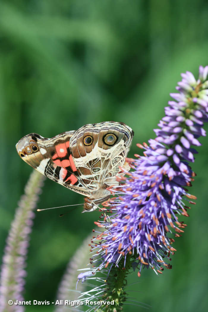 Painted Lady on Veronicastrum virginicum 'Fascination'-Lake Muskoka