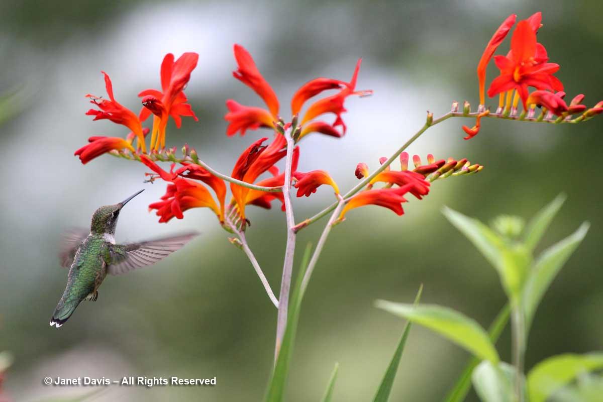 Ruby-throated hummingbird on crocosmia-Lake Muskoka