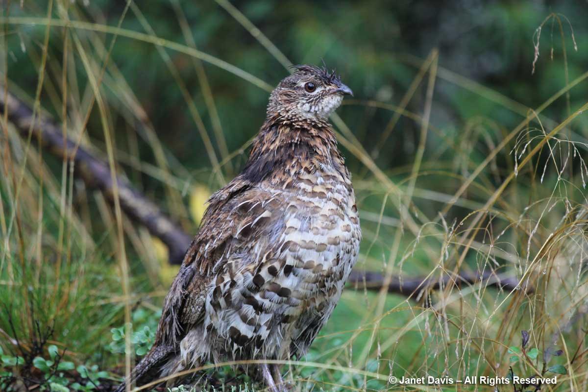 Ruffed grouse-Lake Muskoka