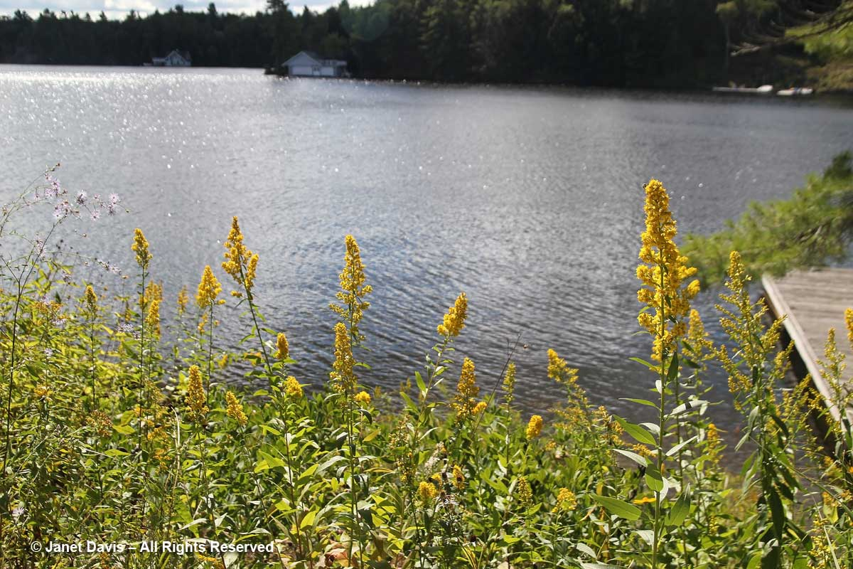 Solidago speciosa-showy goldenrod-Lake Muskoka