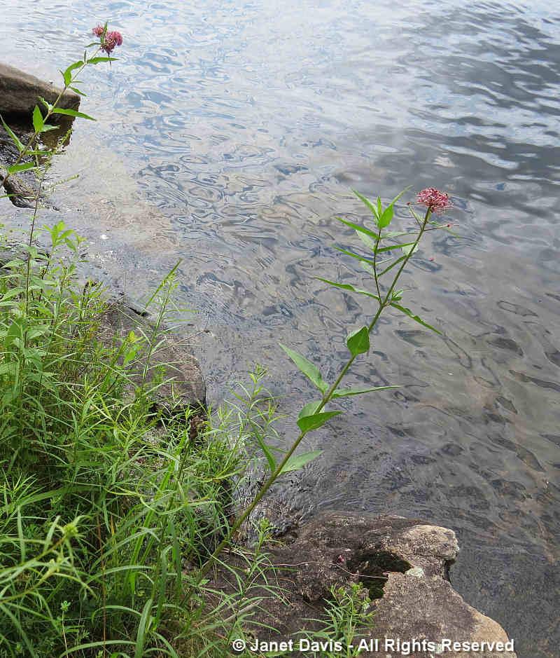 Swamp Milkweed-Asclepias incarnata-Lake Muskoka