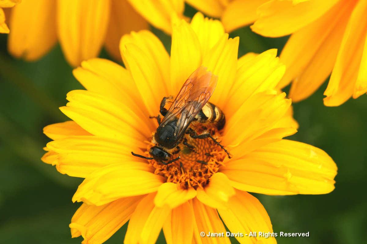 Wasp on Heliopsis helianthoides-Lake Muskoka
