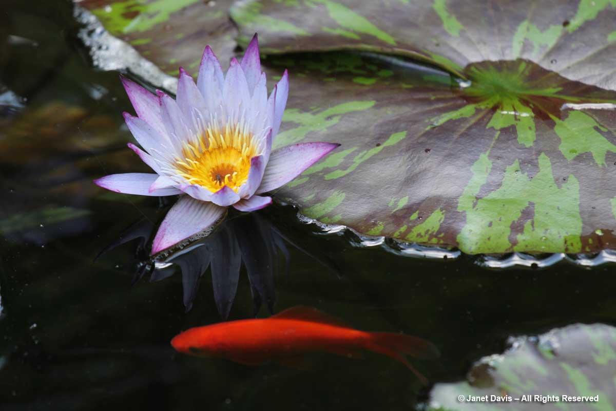 Waterlily & goldfish-Barbara Katz