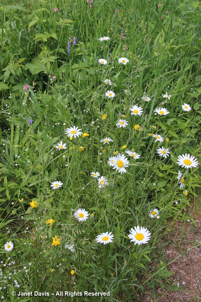 Weedy wildflowers-Lake Muskoka