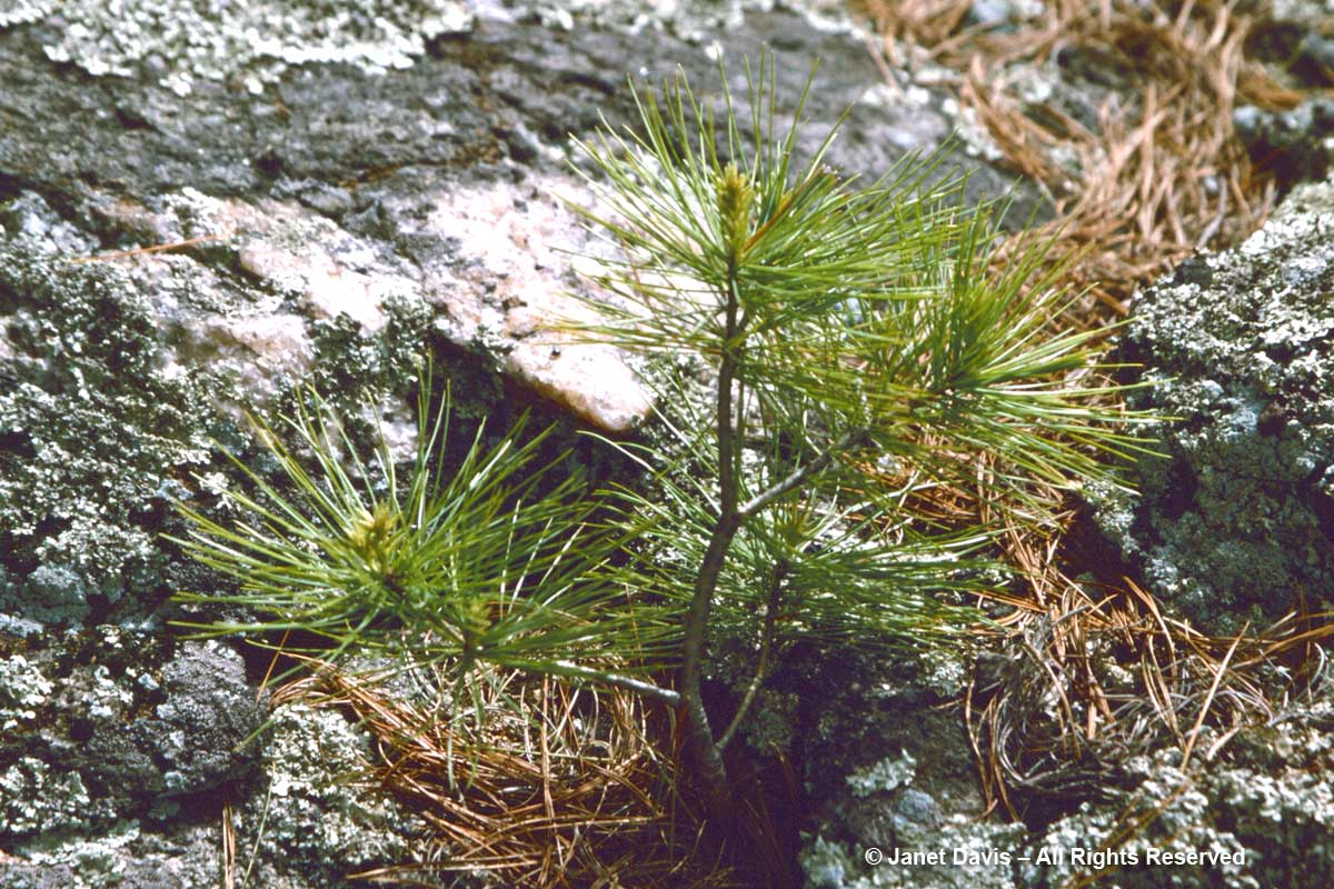 White Pine Seedling-Lake Muskoka