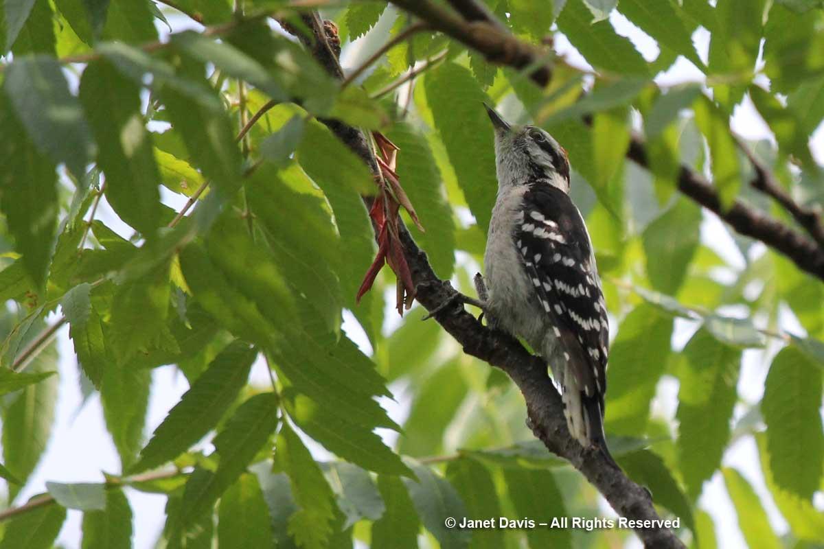 Woodpecker-staghorn sumac-Lake Muskoka