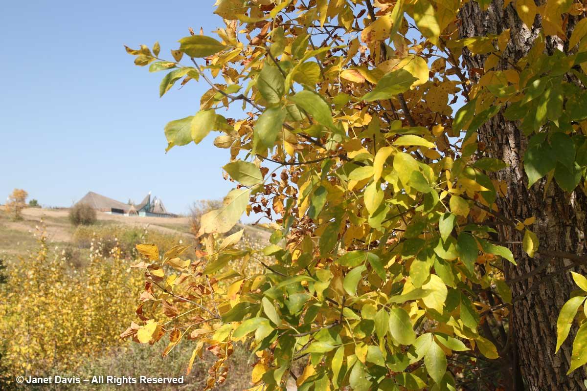 Acer negundo-Manitoba maple-Wanuskewin