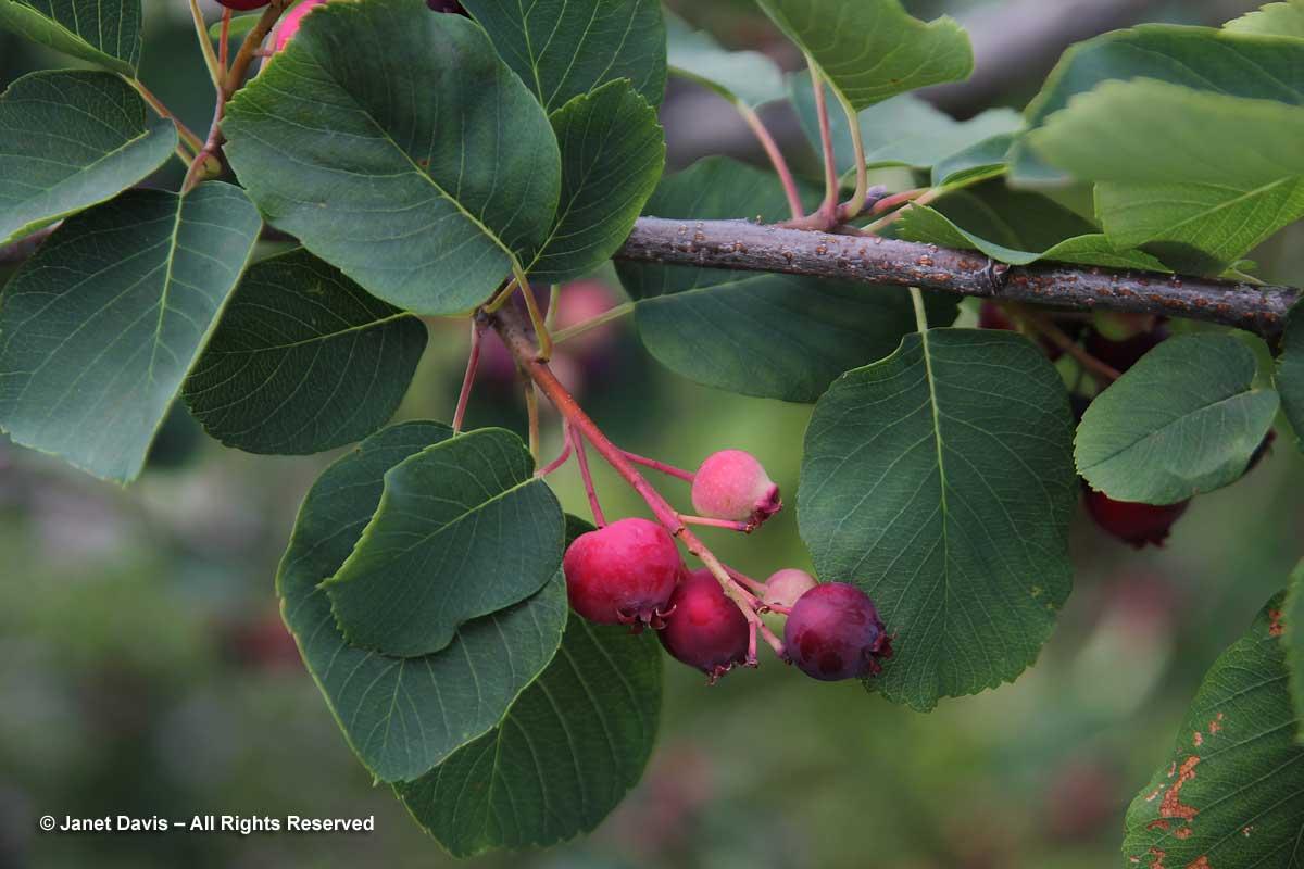 Amelanchier alnifolia-Saskatoon berry