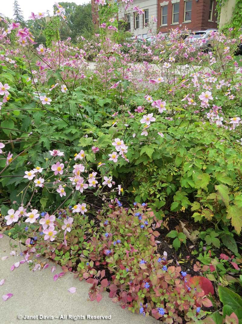 Anemone x hybrida & Ceratostigma plumbaginoides-Festival Theatre Garden