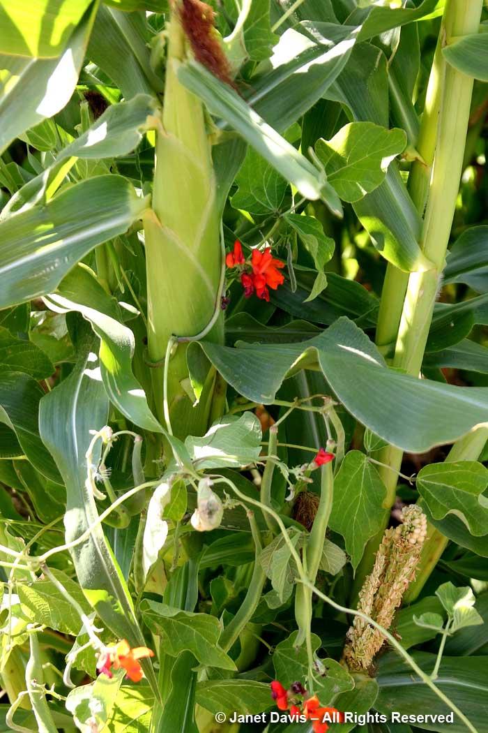 Beans climbing cornstalk-3 Sisters gardening-Wanuskewin