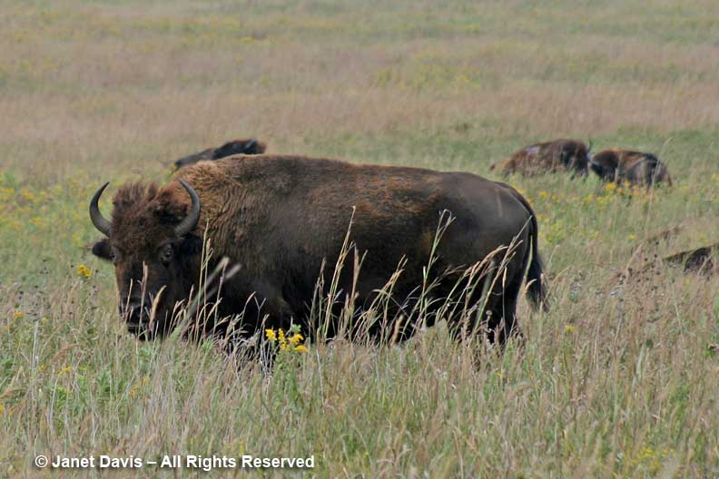 Bison-Oklahoma Tallgrass Prairie-Nature Conservancy