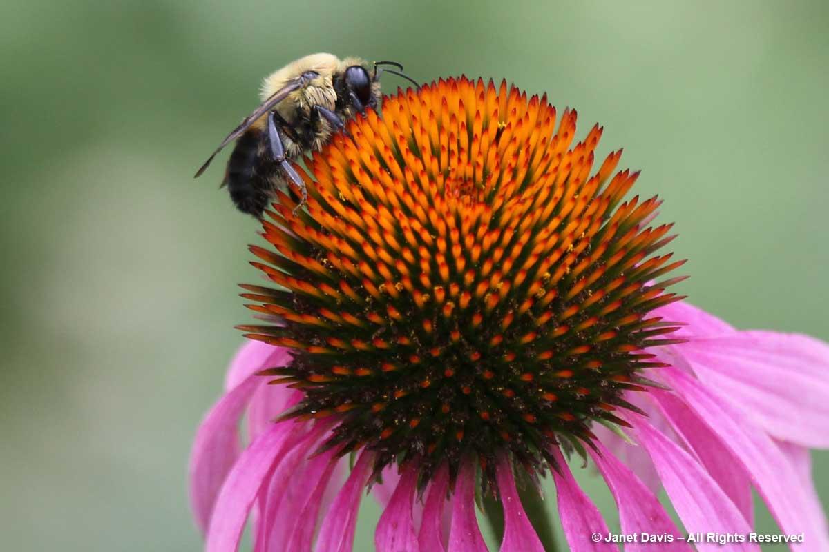 Bumble bee on echinacea-Peg Bier