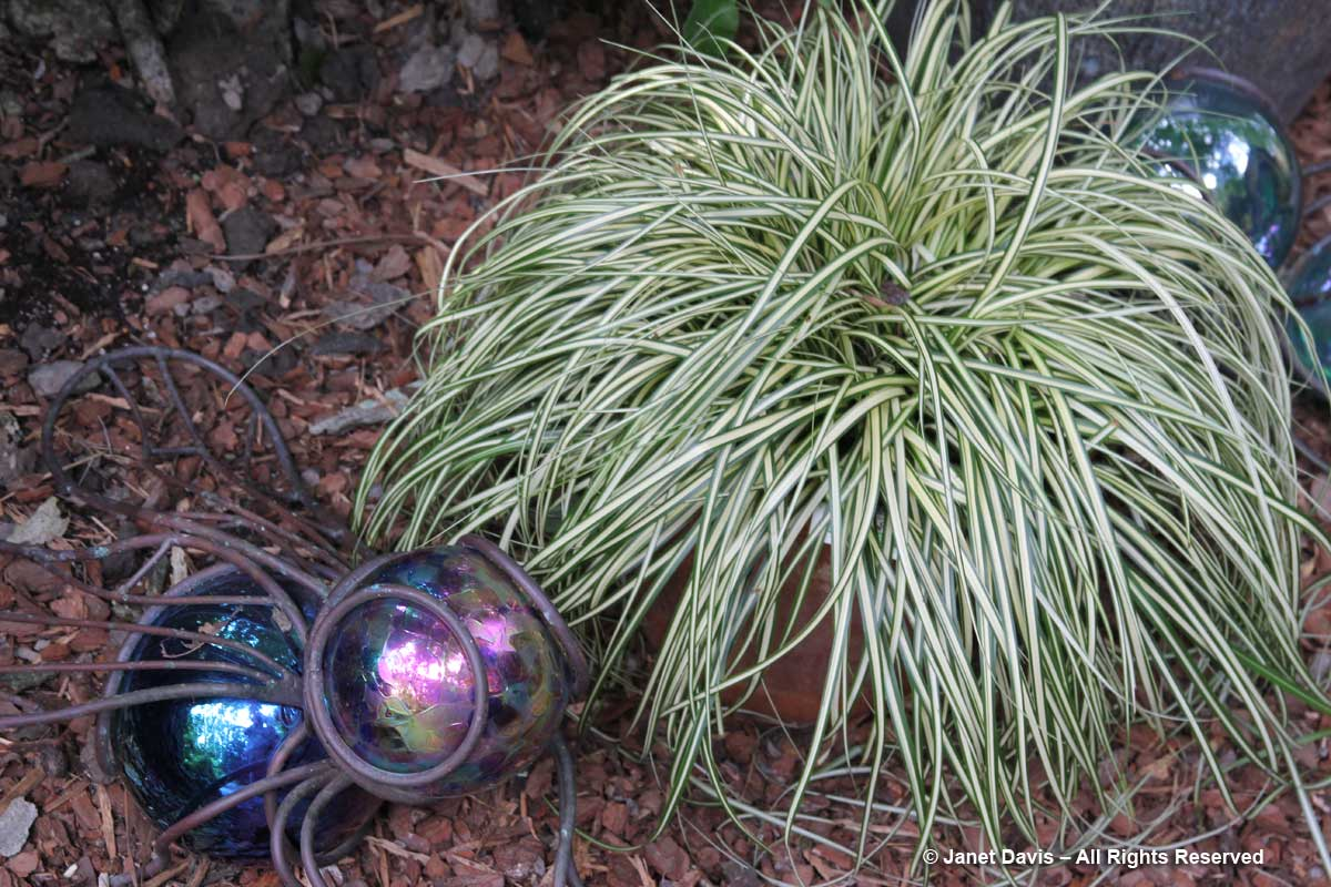 Carex morrowii 'Ice Dance'-Peg Bier