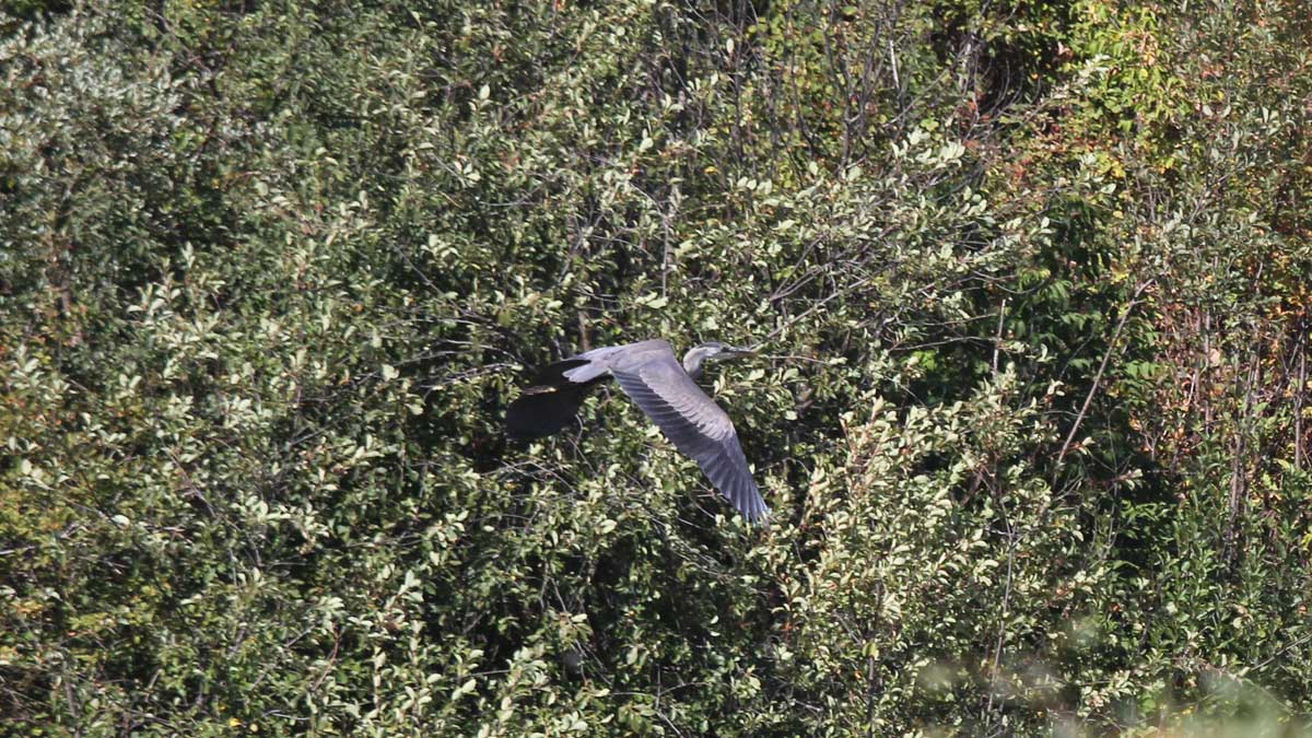 Great Blue Heron-Wanuskewin