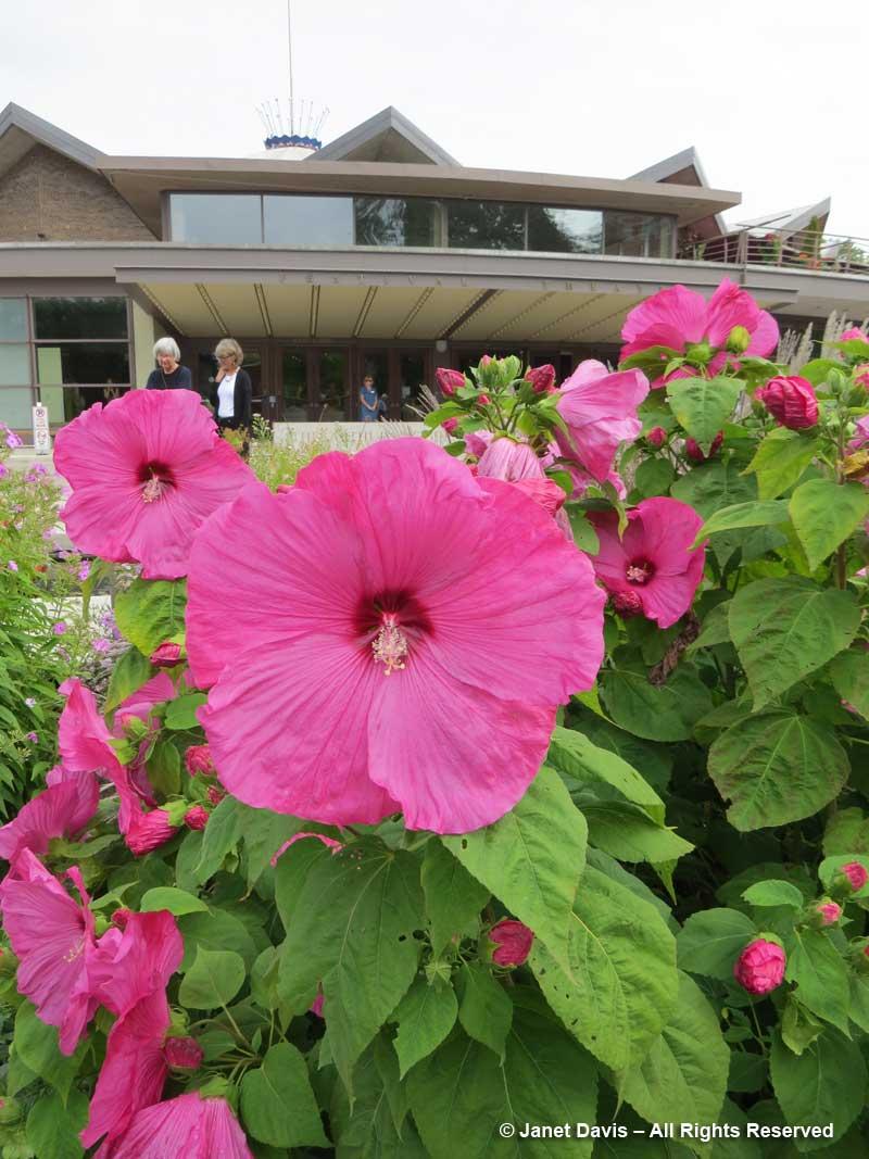 Hibiscus moscheutos-Swamp hibiscus-Festival Theatre Garden