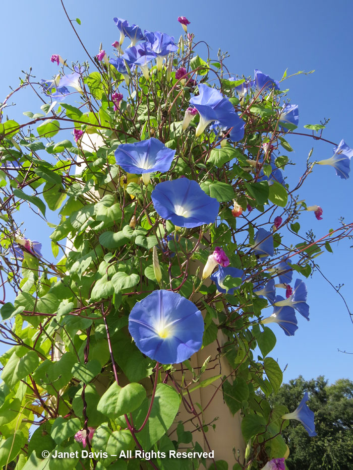 Ipomoea tricolor-Morning glory-Festival Theatre