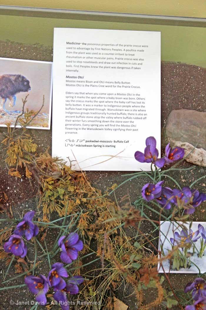 Mostos otci-Prairie crocus-Anemone patens-Wanuskewin