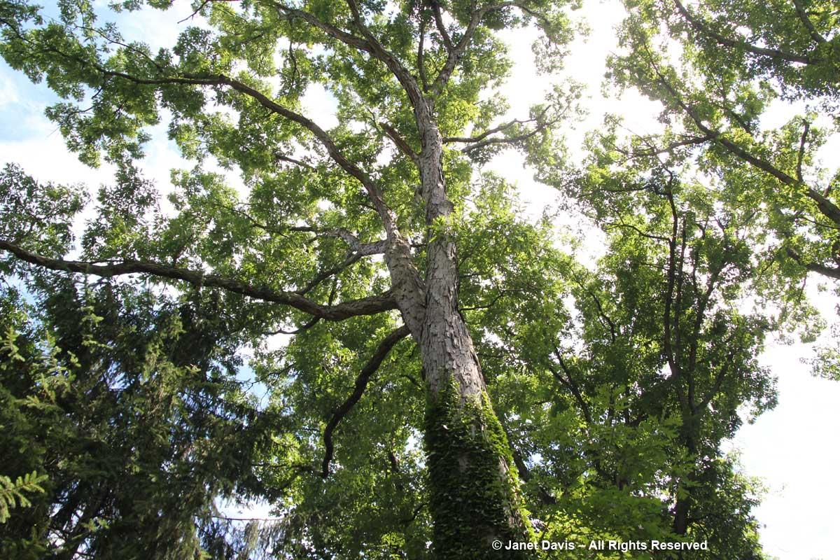 Oak canopy-Peg Bier