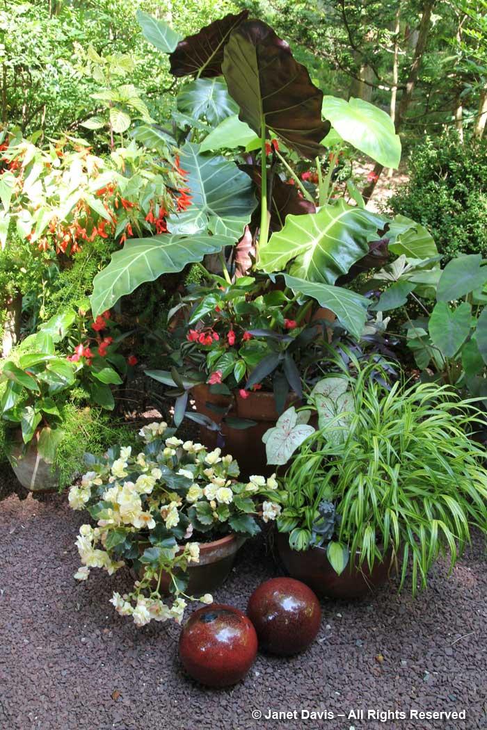Peg Bier-Alocasia & tropicals