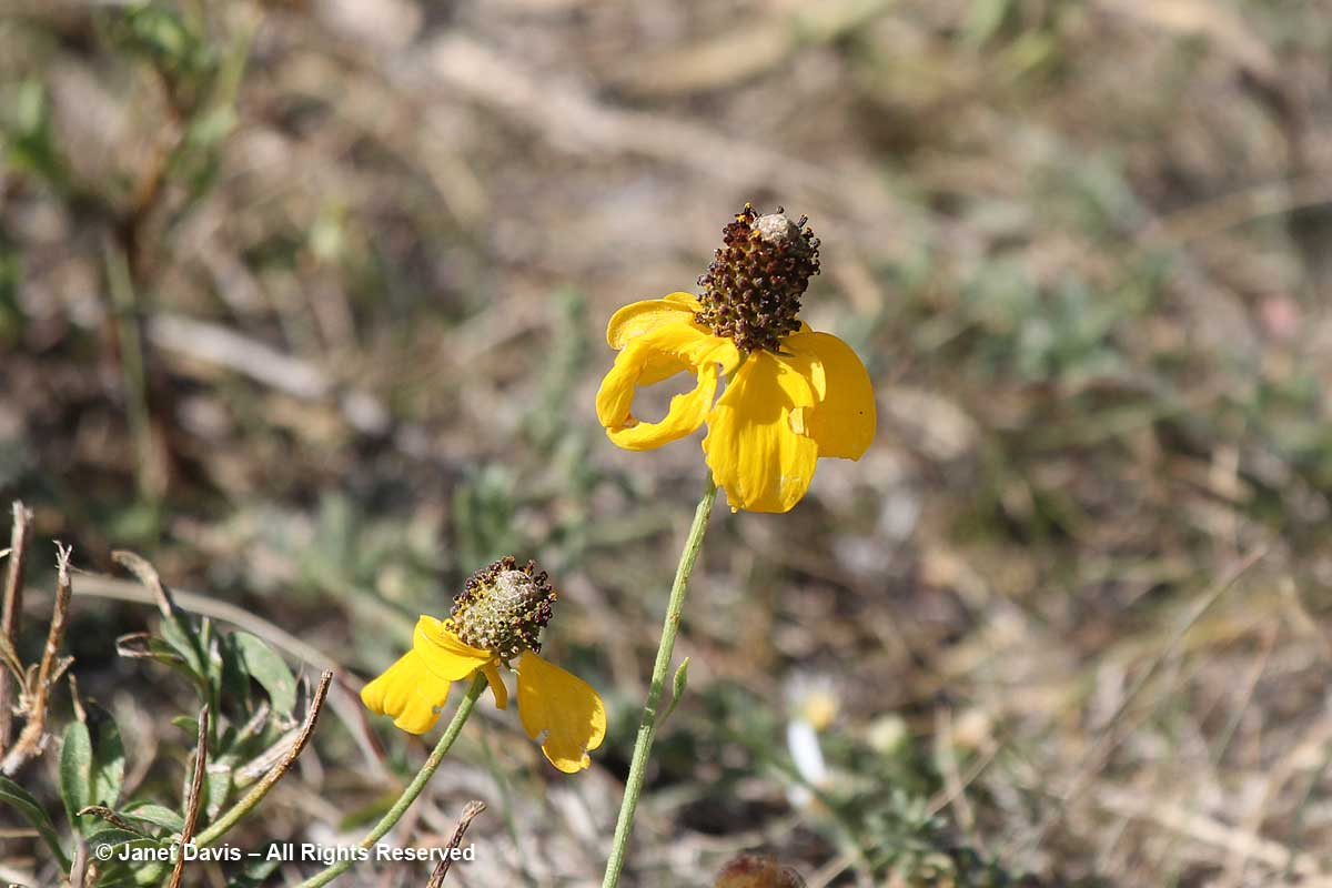 Ratibida columnifera-Prairie coneflower-Wanuskewin