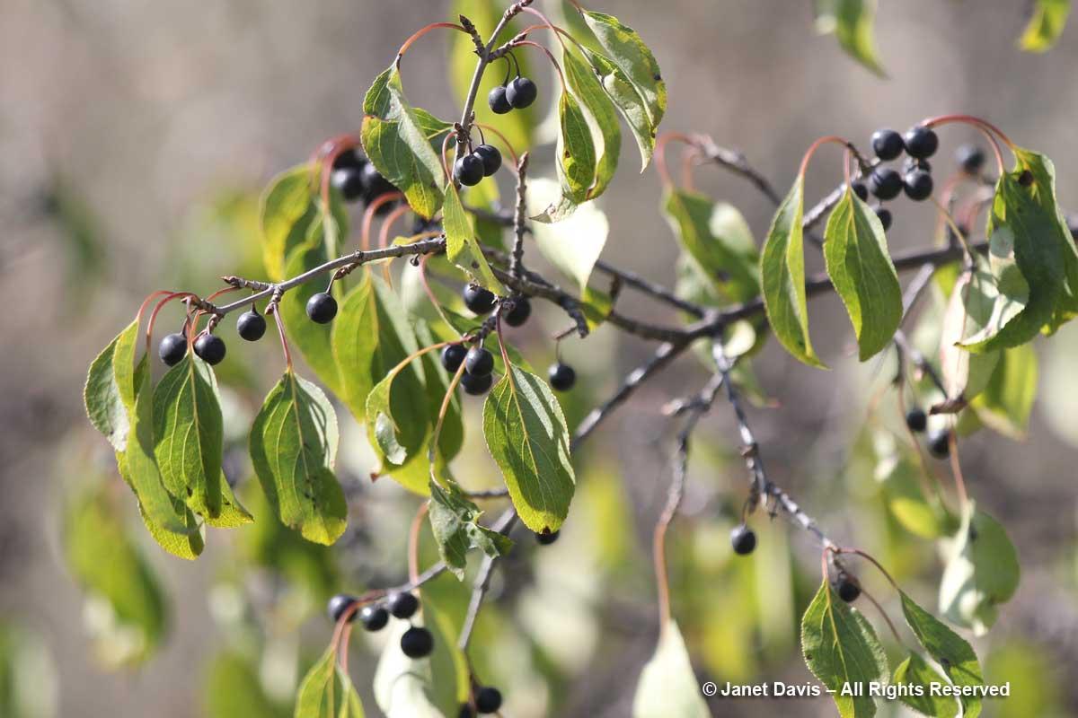 Rhamnus cathartica-invasive buckthorn-Wanuskewin
