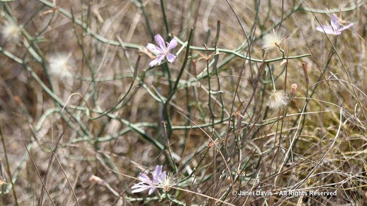 Rush-pink-Stephanomeria runcinata-Wanuskewin