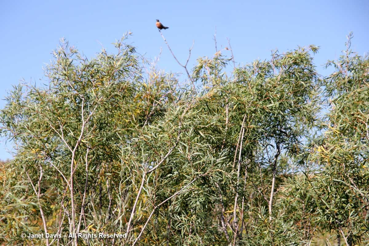 Sandbar Willow-Salix interior-Wanuskewin