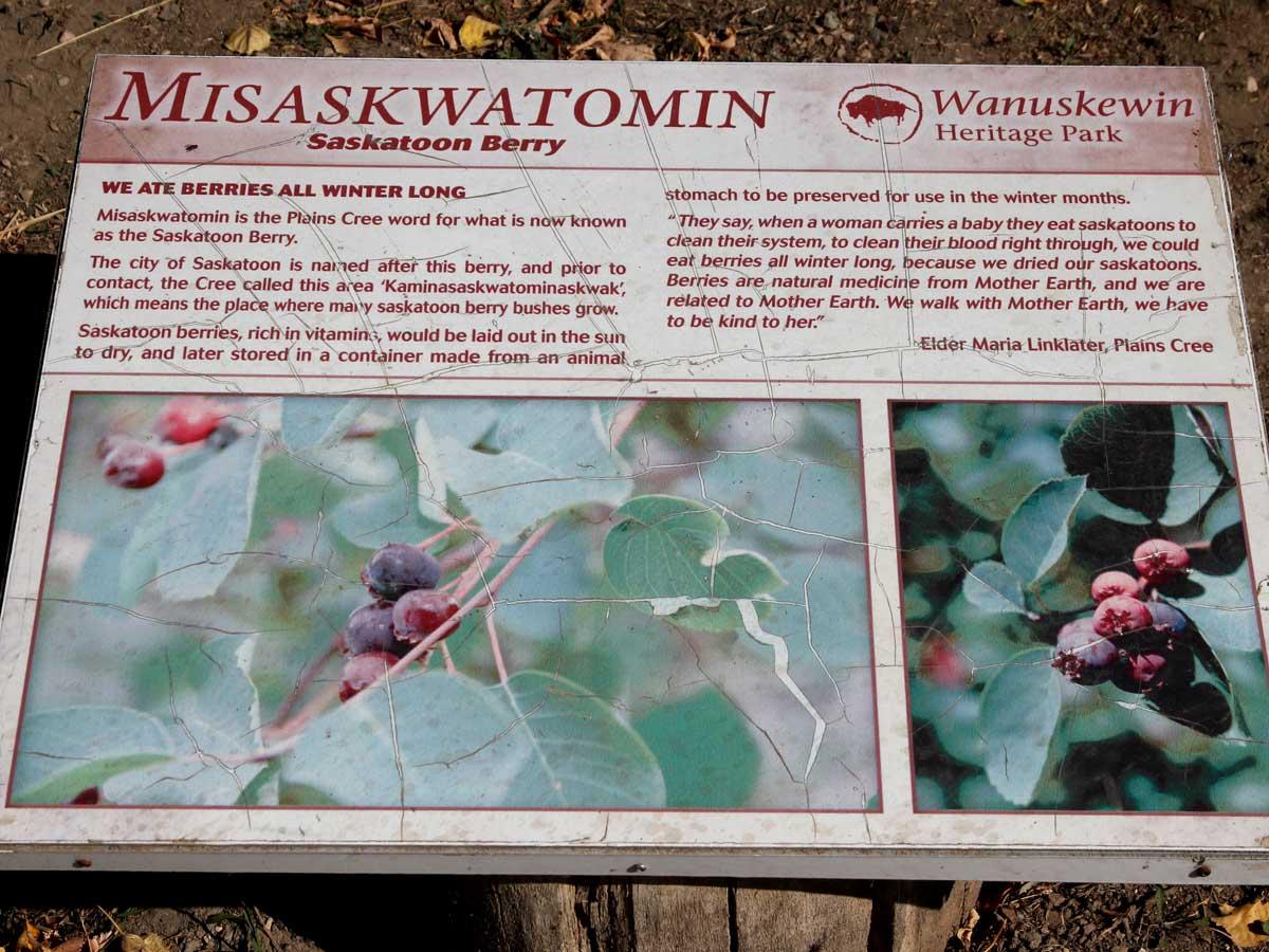 Saskatoonberry-Amelanchier alnifolia