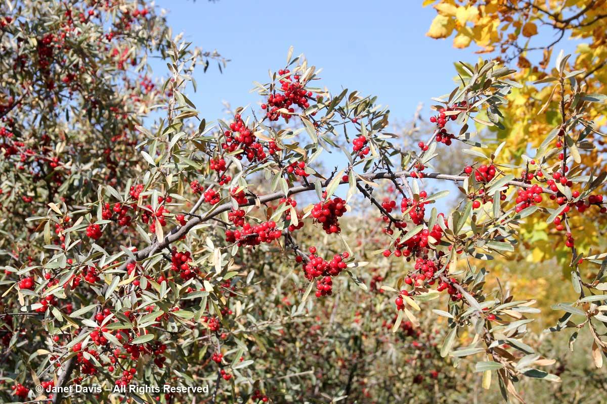 Shepherdia argentea-Buffalo-berry-Wanuskewin