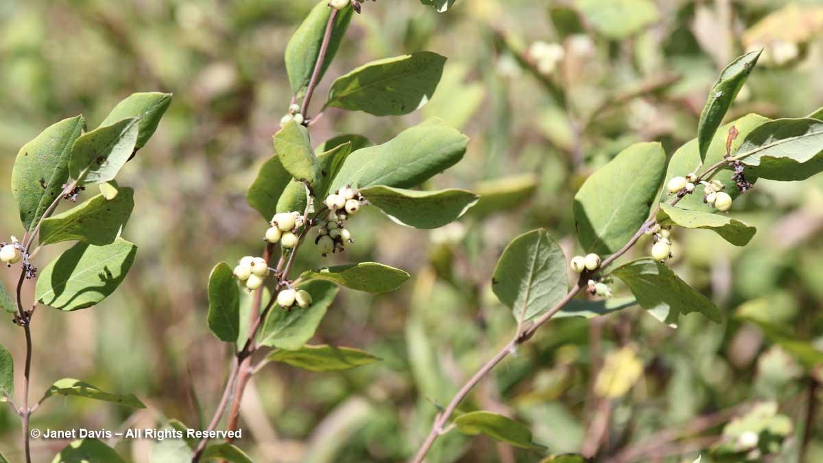 Symphoricarpos albus-Snowberry-Wanuskewin