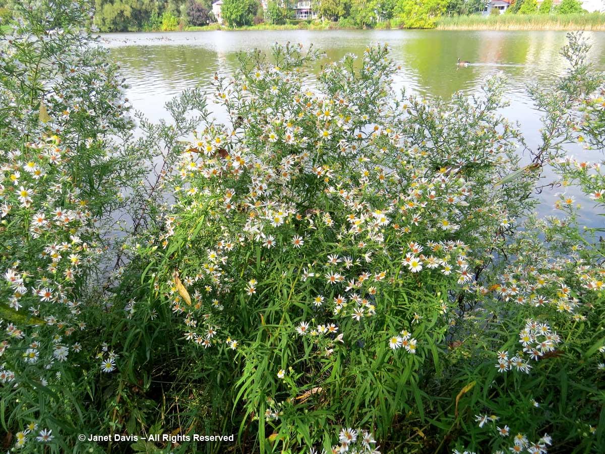 Symphyotrichum ericoides-Heath aster-Avon River-Stratford