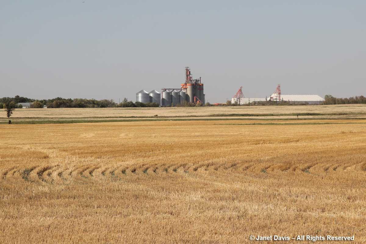 Wheatfield near Wanuskewin