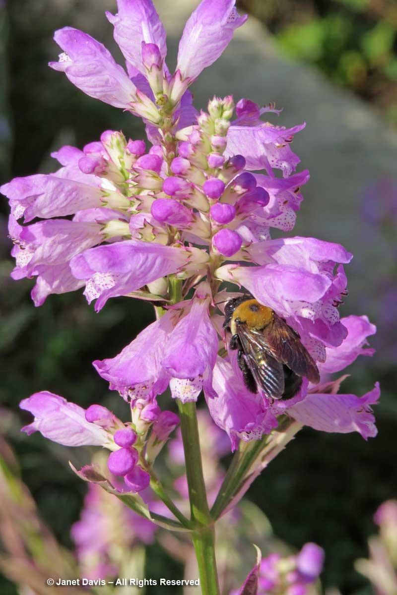 Xylocopa virginica-carpenter bee-Physostegia-virginiana 'Variegata'