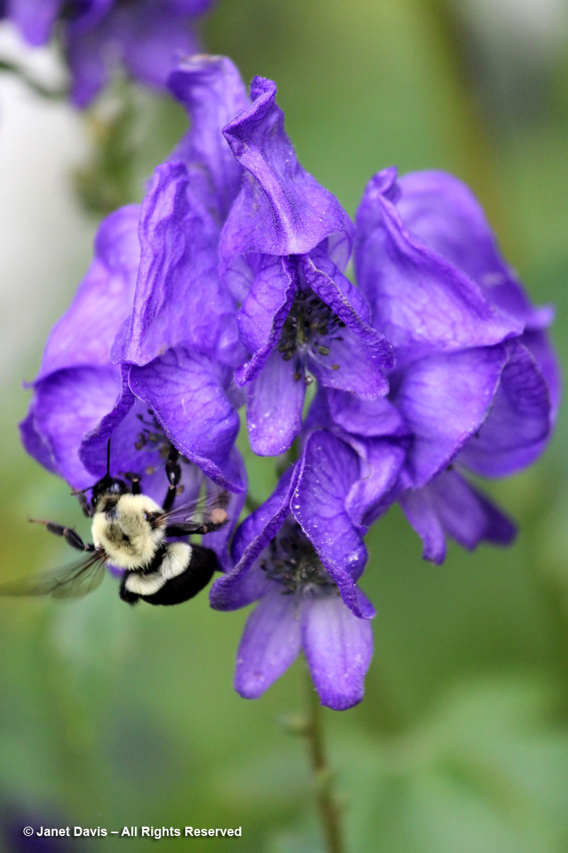 Bombus-Fall Monkshood-Aconitum carmichaelii 'Arendsii'