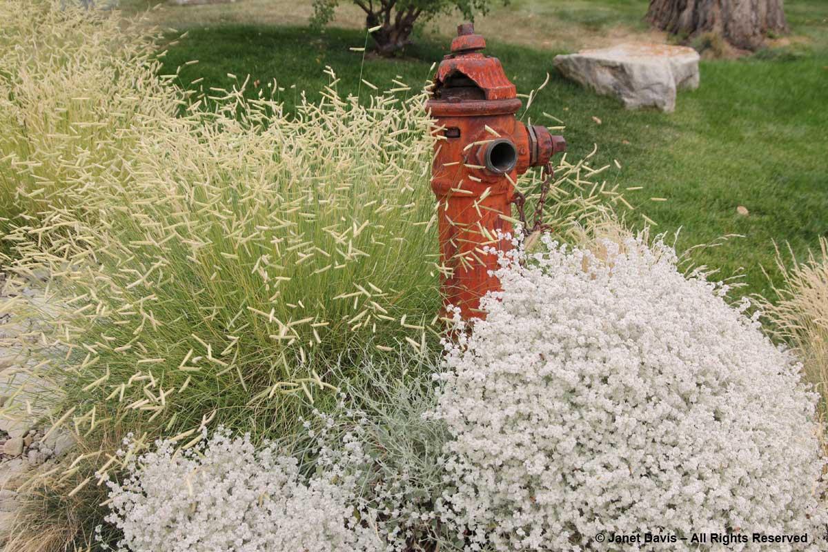 Bouteloua 'Blonde Ambition' & Eriogonum wrightii var. wrightii-Idaho Botanical