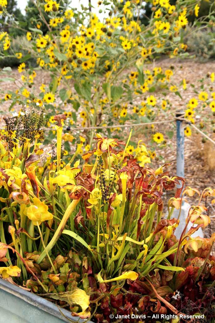 Carnivorous plants-Children's Adventure Garden-Idaho Botanical Garden