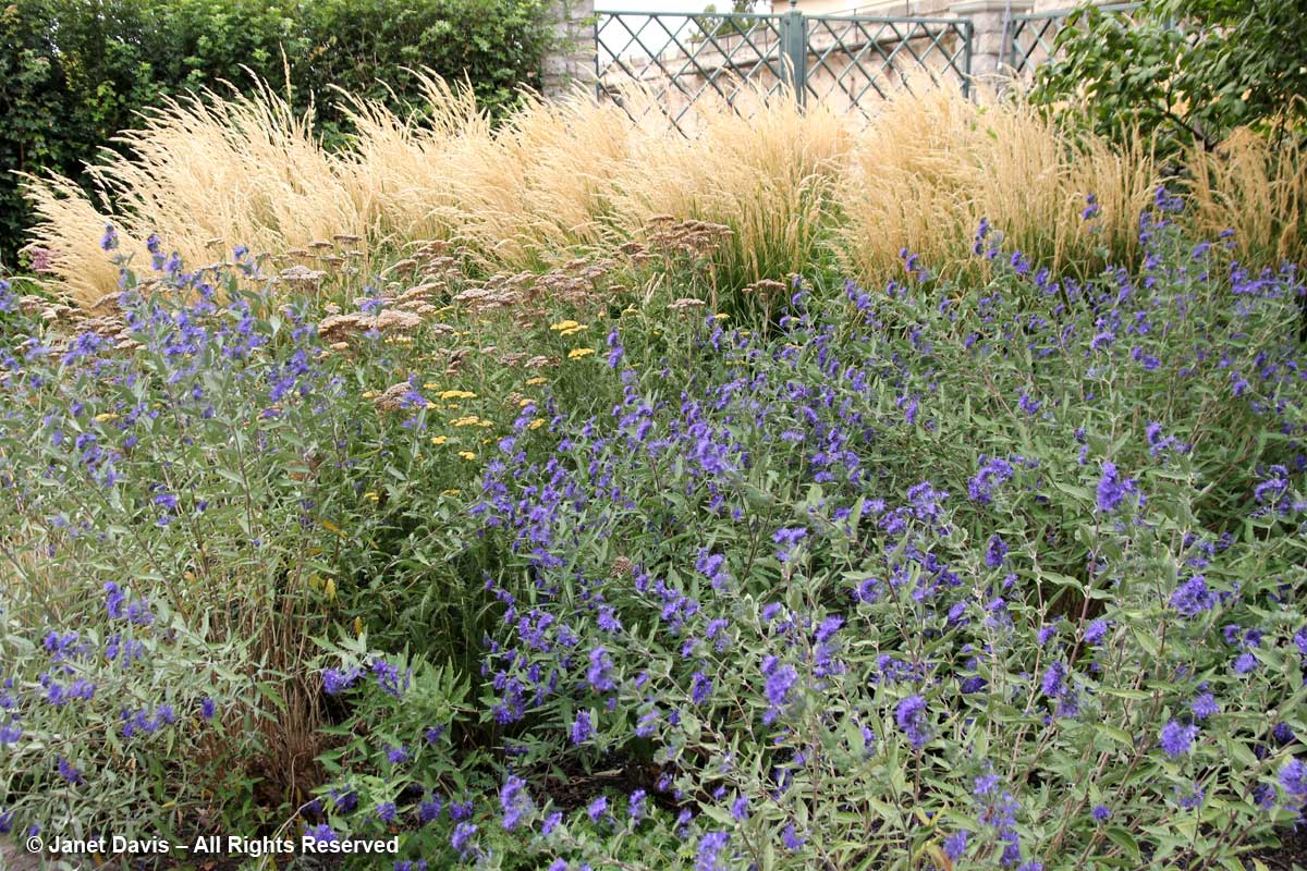 Caryopteris & Calamagrostis-Idaho Botanical Garden