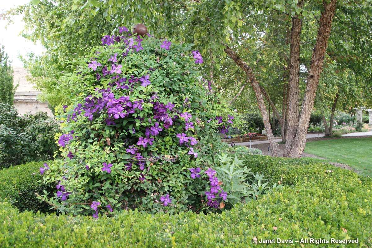 Clematis-English Garden-Idaho Botanical