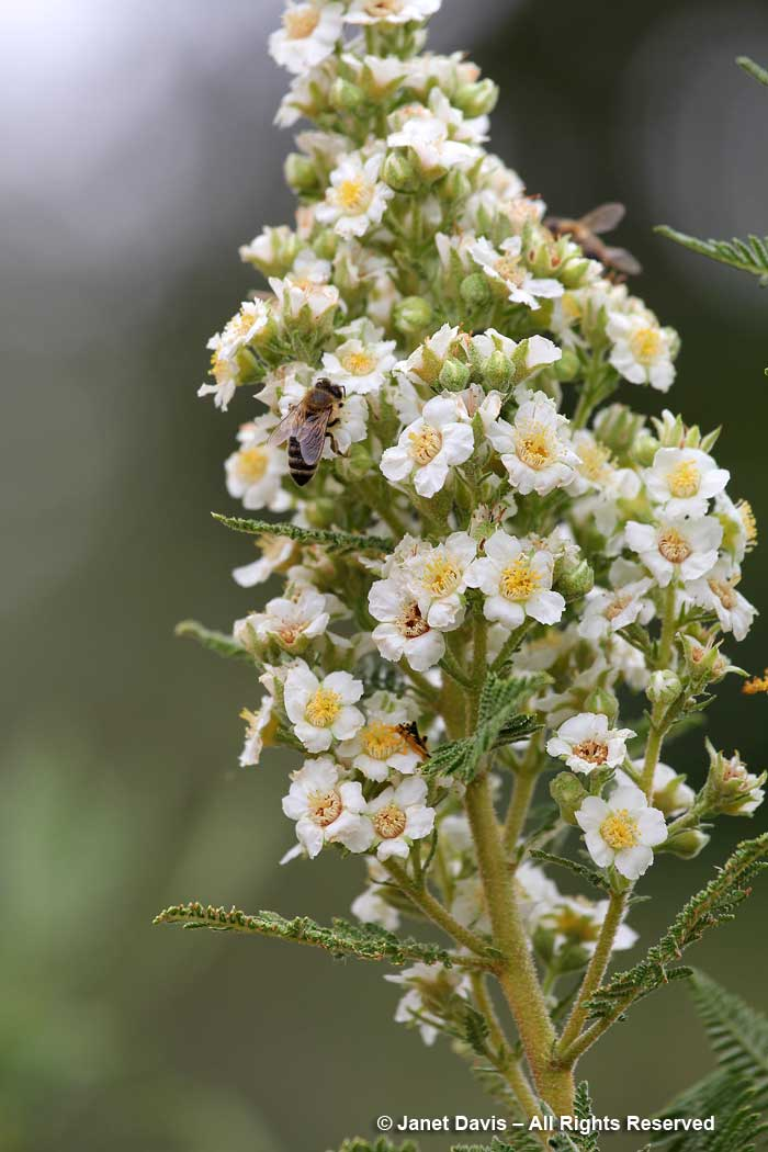 Fernbush-Chamaebatiaria millefolium