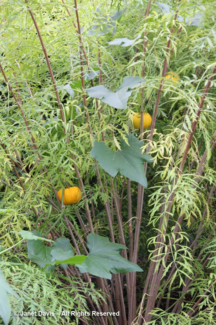 Fernleaf elderberry & pumpkin vine-Idaho Botanical