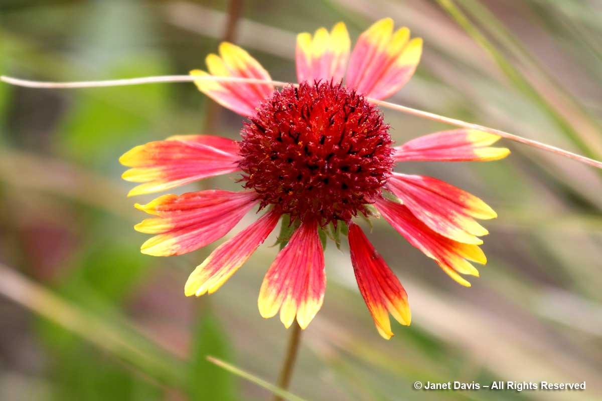 Gaillardia aristata-Great blanketflower-Lewis & Clark