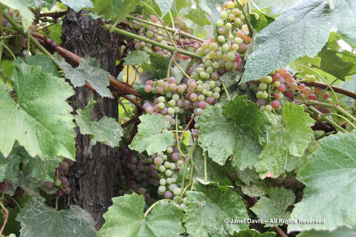 Grapes-Idaho Botanical