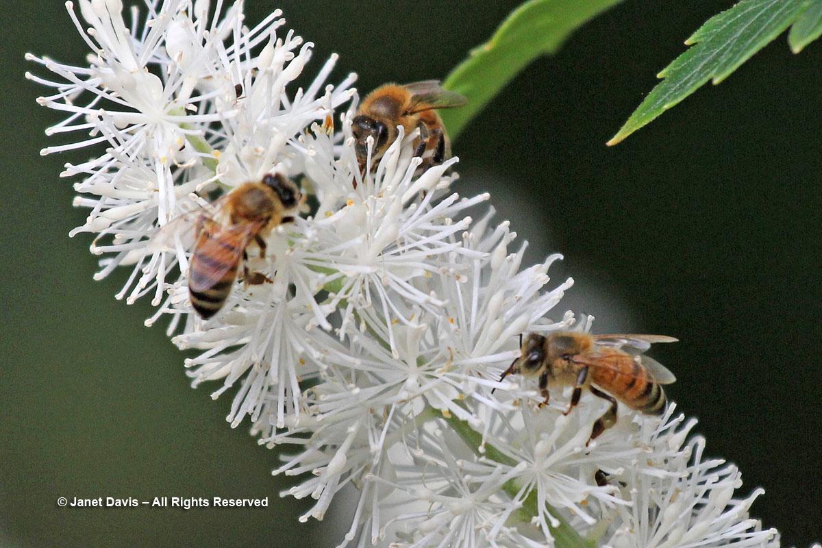 Honey bees-Apis mellifera-Actaea simplex-fall snaekroot