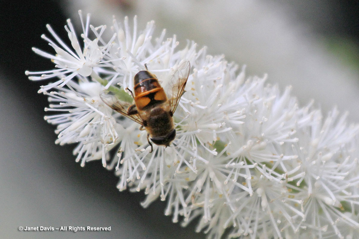 Hover-fly on fall snakeroot-Actaea simplex