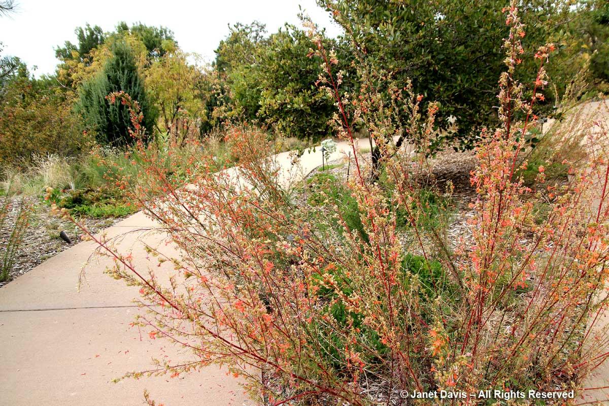 Ipomopsis aggregata-Scarlet gilia-Lewis & Clark-Idaho Botanical