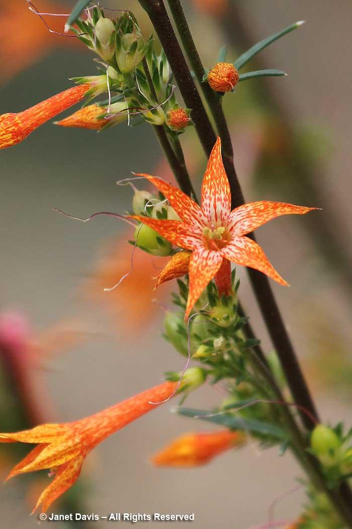 Ipomopsis aggregata-closeup-Scarlet gilia