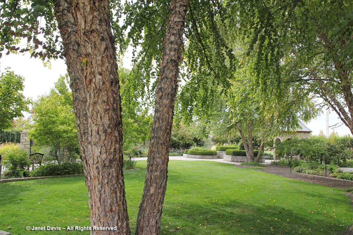 Katsura tree-Idaho Botanical