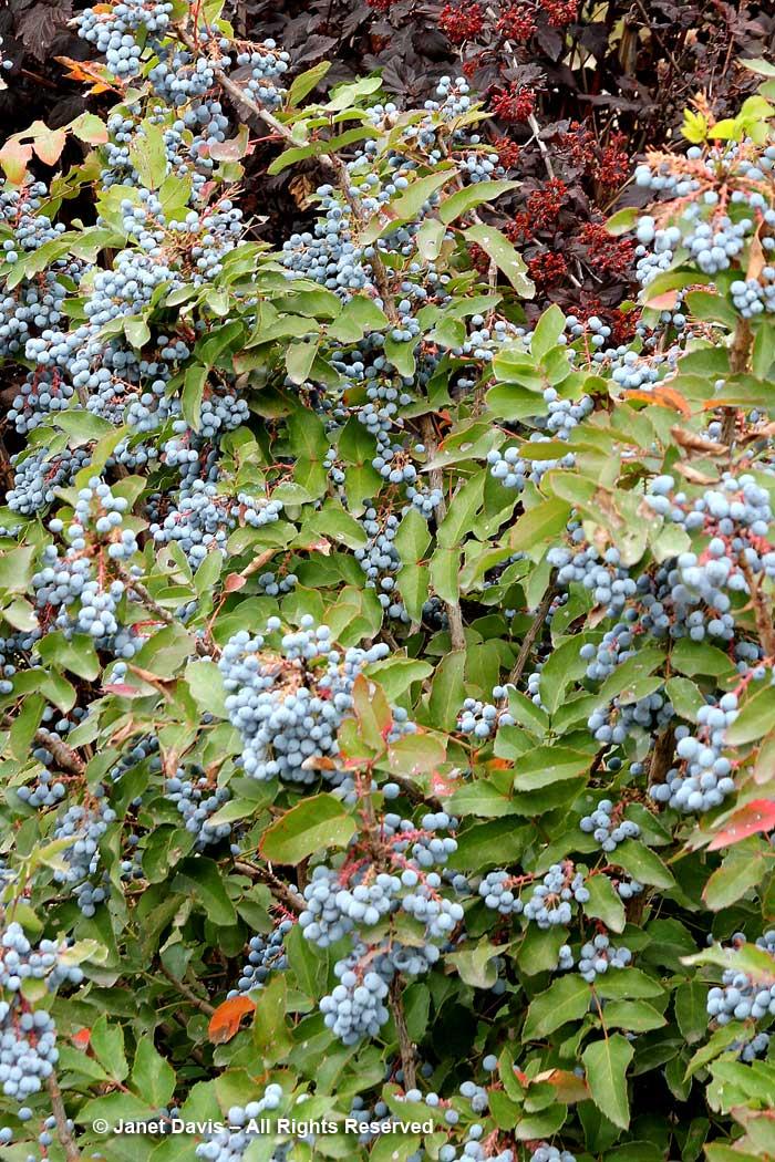 Mahonia aquefolium-Oregon grape