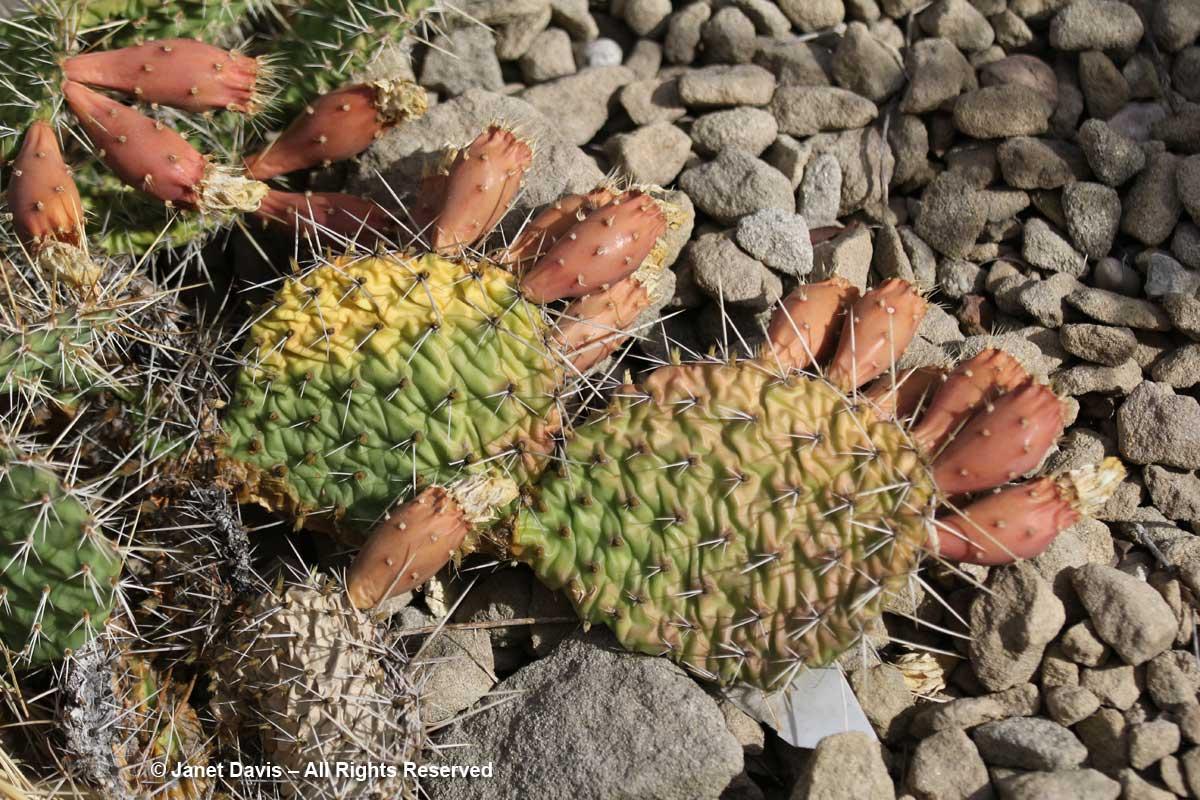 Opuntia polyacantha-Prickly pear-Lewis & Clark