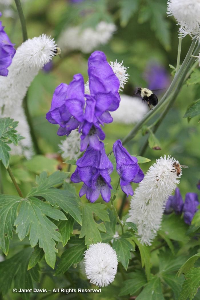 Pollinators-autumn garden-fall snakeroot & monkshood-